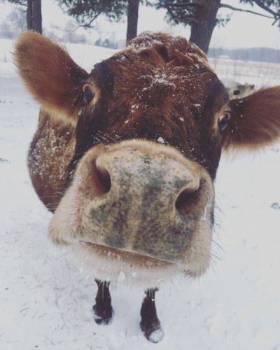 Family Cow Name Ideas - Modernly Old Fashioned