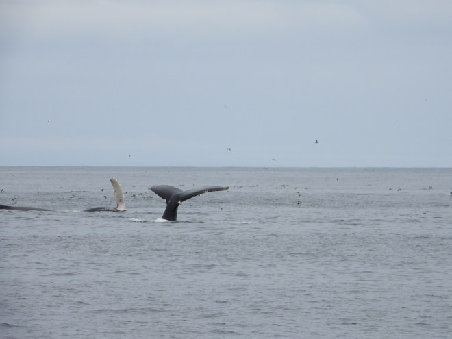 Three humpbacks play among birds in Witless Bay. One is diving with its fluke in the air. One is on its side with a pectoral fin in the air. The third is just swimming.