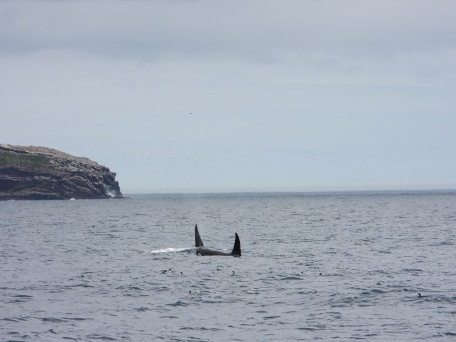 A pair of orcas swim together in Witless Bay. Both dorsal fins are visible, and one whale's white eye patch. Photo by Jeannine Winkel.