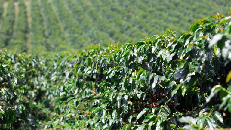Coffee - coffee production in Colombia