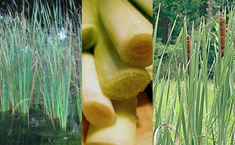 edible-cattails