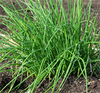 chives-beneficial-herb