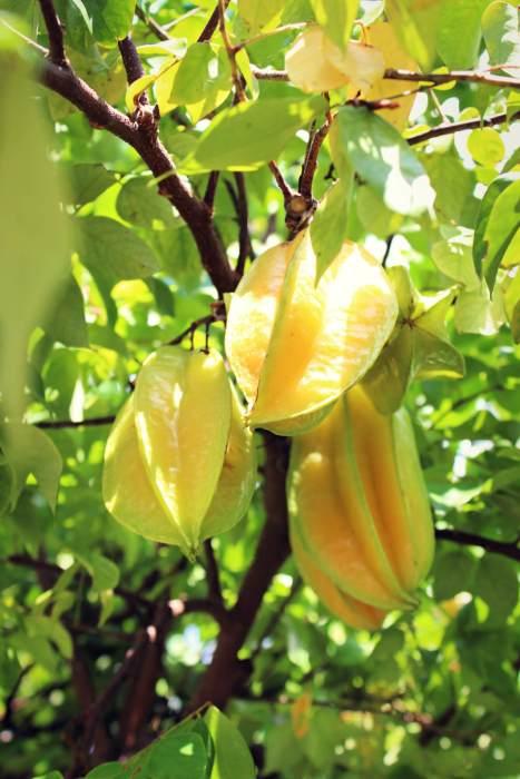 Star Fruit at Palma Sola Botanical