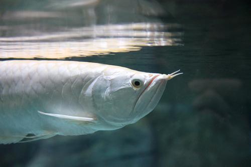 Ikan Arwana perak
