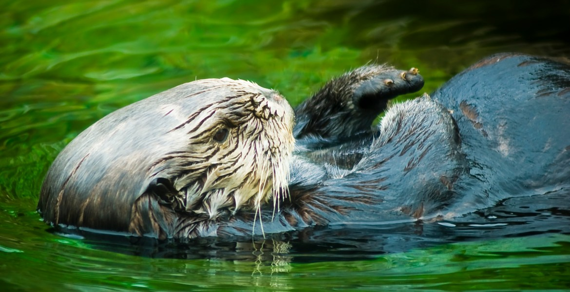A sea otter swims on its back through water on the Oregon Coast, U.S.A. This close-up photo shows the otter's arms and front claws folded up over its body as it floats calmly through the water.
