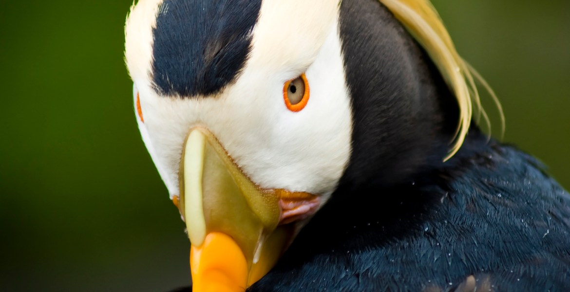A Tufted Puffin tucks its orange and yellow beak behind its wing as it preens.