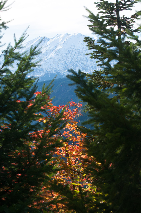 Washington Road Trip - Best Hiking Trails in Washington State. Looking through the trees at Mt. St. Helens, in the Gifford Pinchot National Forest