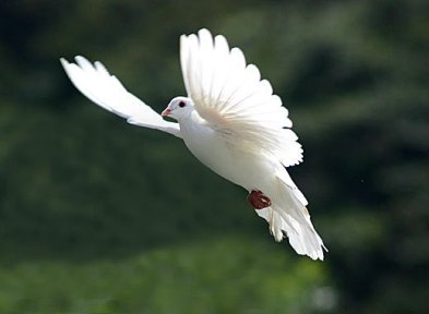holy ghost dove