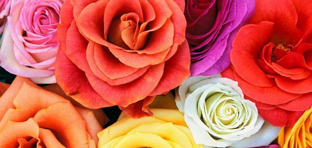 أجمل الورود في العالم موضوع
