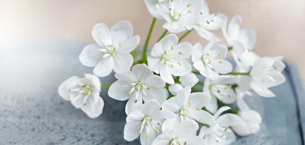 ماذا تعني الوردة البيضاء موضوع