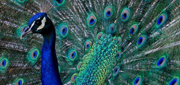 نتيجة بحث الصور عن الطاووس