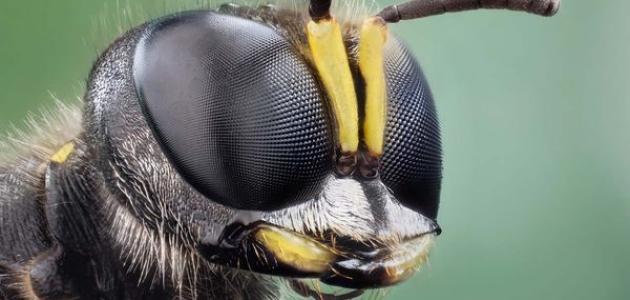 كم عدد عيون النحلة موضوع