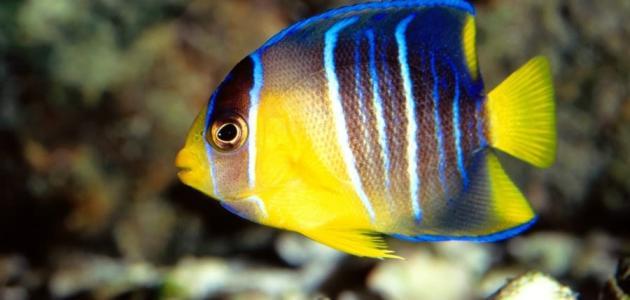 أنواع السمك في البحر الأحمر موضوع