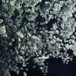 【MOELOG】いつもの桜