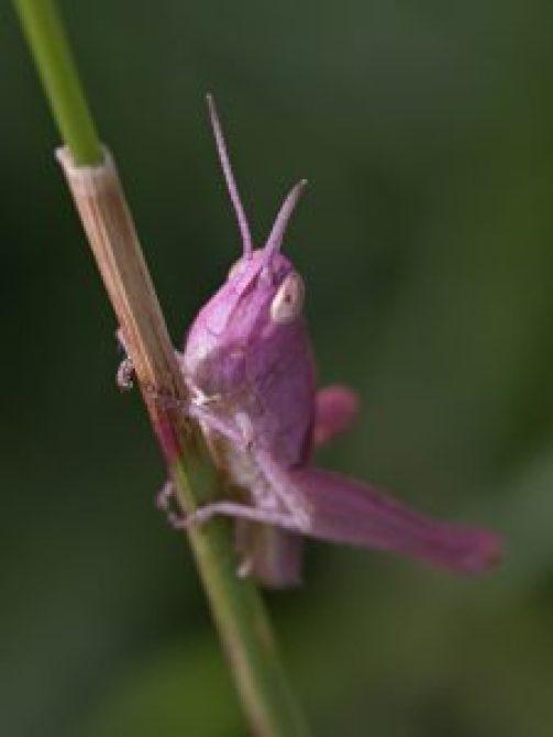 Roze Spinghaan