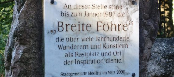 Breite Föhre - 450 Jahre