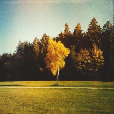 single tree in autumn