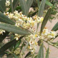 Olijven en olijfolie, dat hoort bij Zuid-Frankrijk en de LANGUEDOC