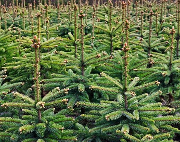 Gratis kerstboom ophalen (zolang de voorraad strekt)