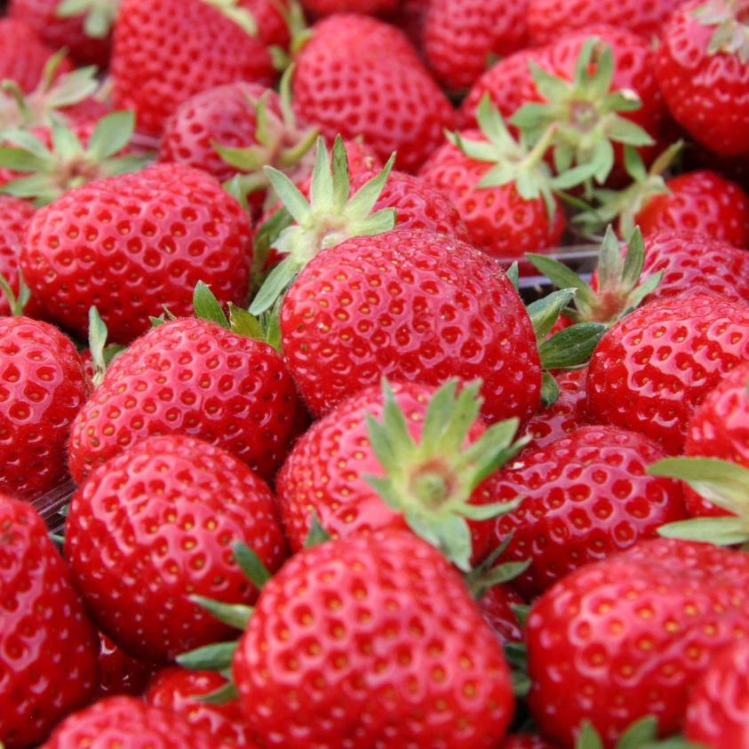 jordbær senga sengana