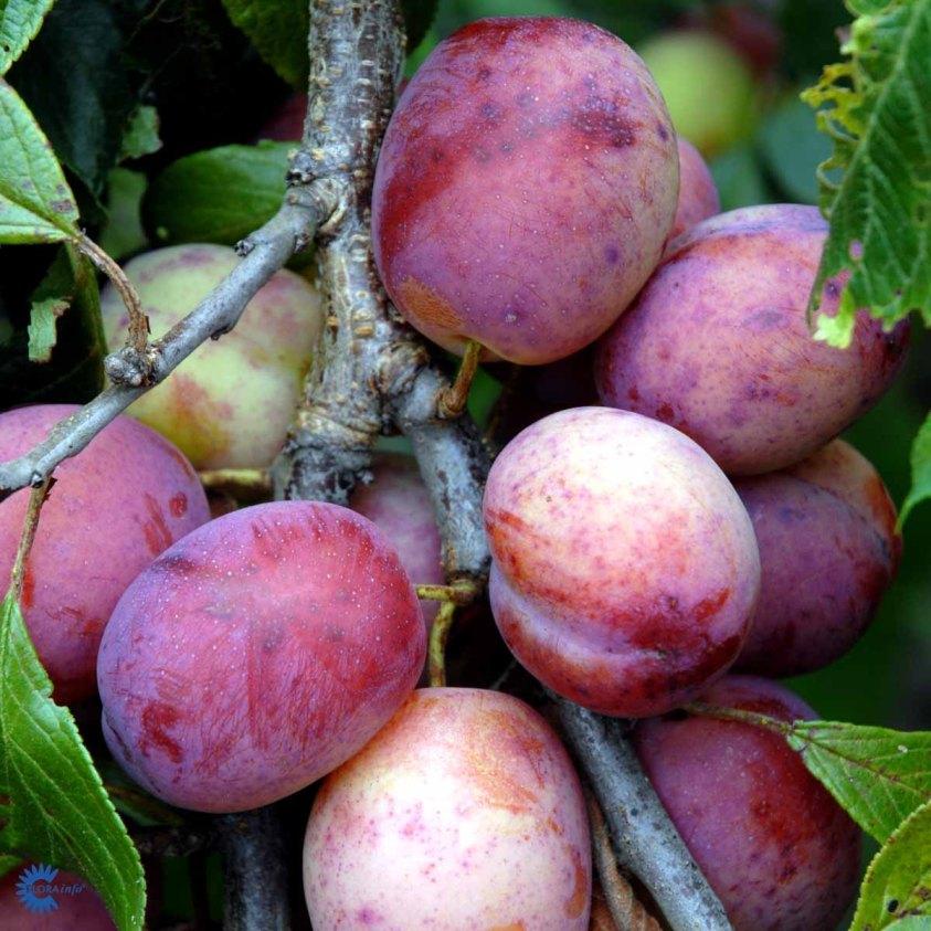 Prunus Domestica Opal Blomme