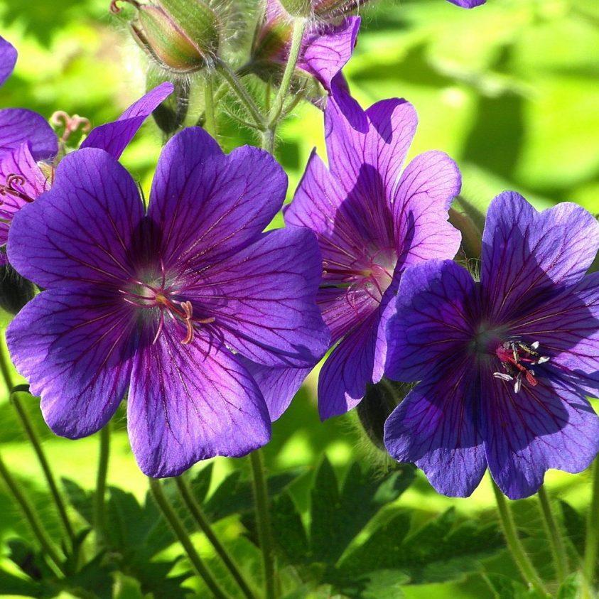 storkenæb - geranium