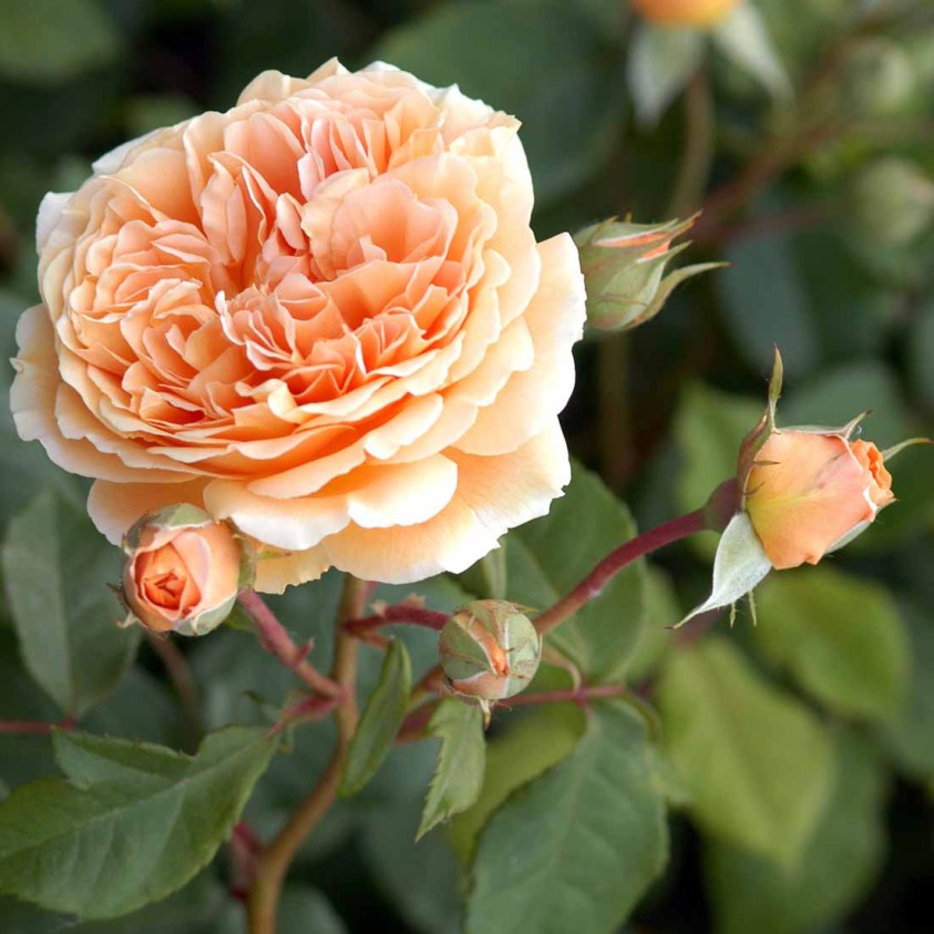 Crown Priness Margareta