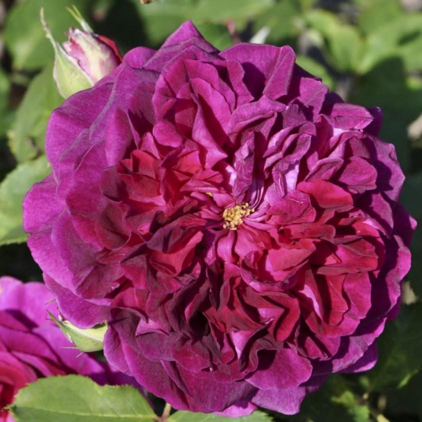 Rosa Munstead Wood