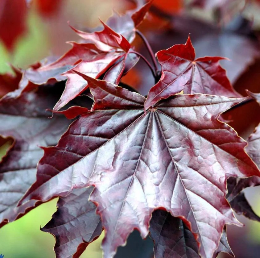Acer platanoides ´Royal Red` - Rødbladet spidsløn