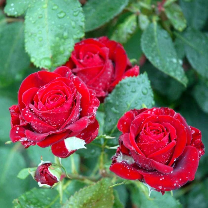 Rosa Courage
