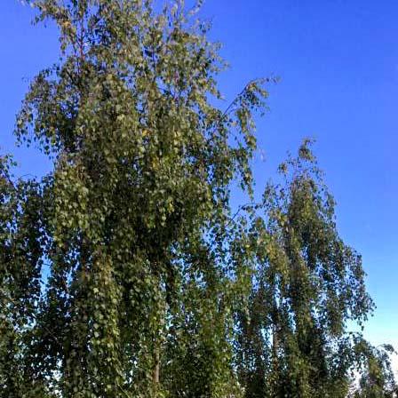 Almindelige træer