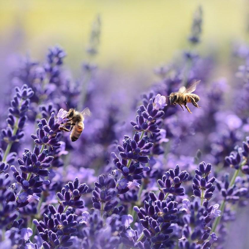 Lavendel hos Moesgård Havecenter