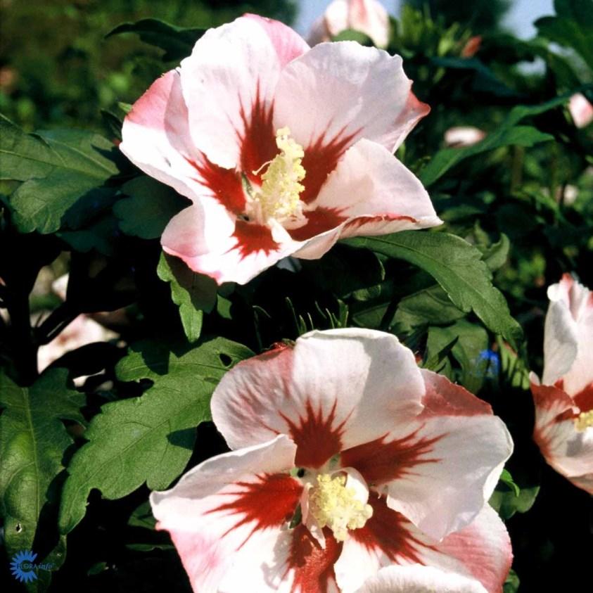 Hibiscus Hamabo Syrisk rose