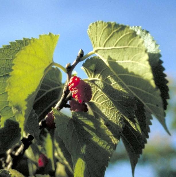 Morus Nigra Sort morbær