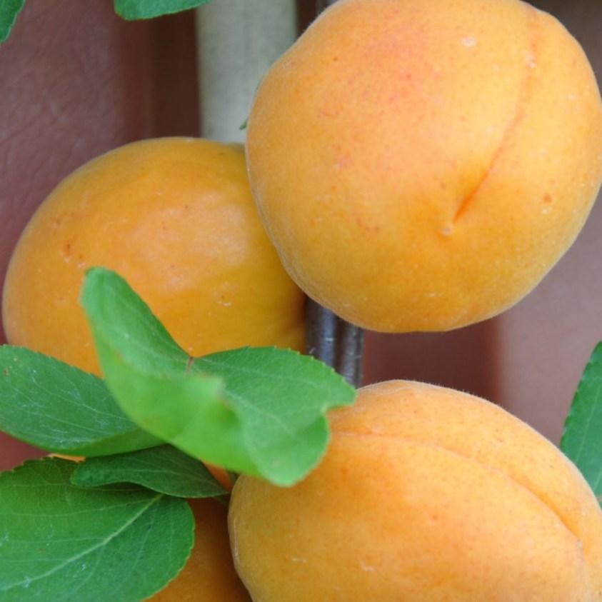 Prunus Armeniaca Goldrich Abrikos