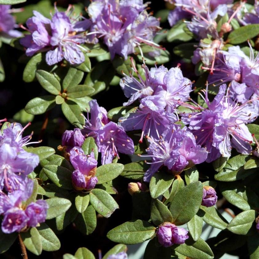 Rhododendron Ramapo