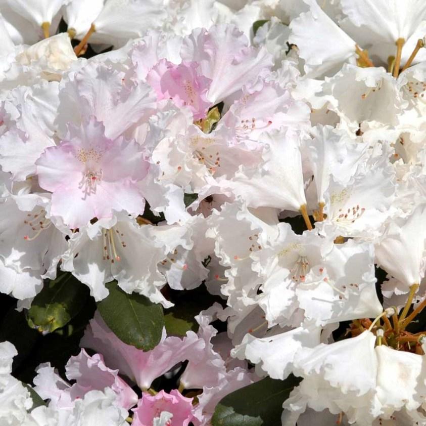 Yakushimanum Rhododendron  Silberwolke