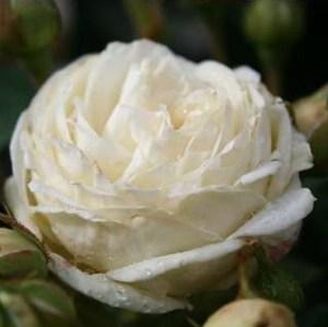 Artemis rose