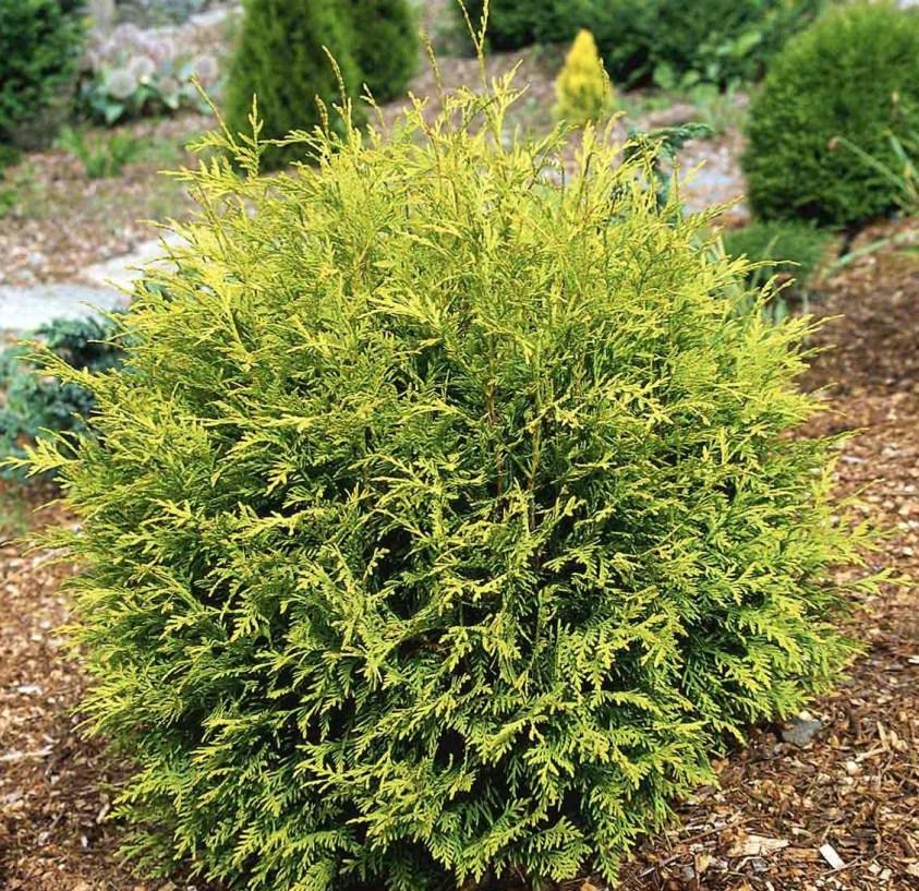Thuja Occidentalis Golden Globe Livstræ