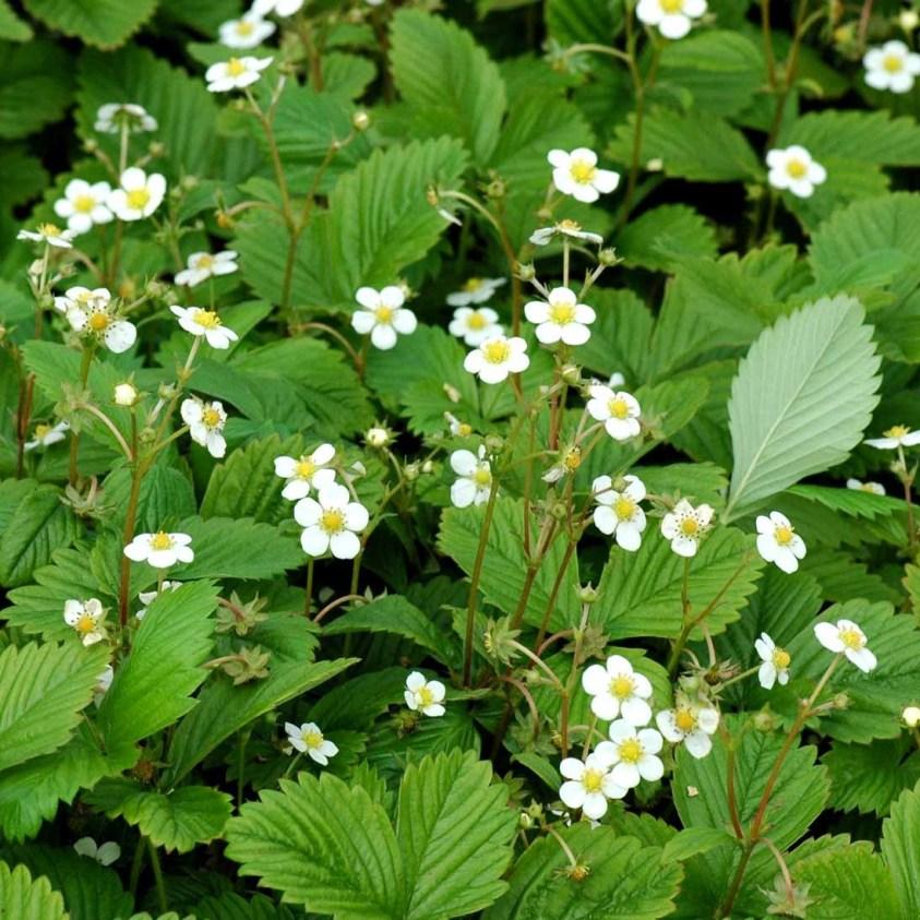 Fragaria Vesca Småland Skovjordbær