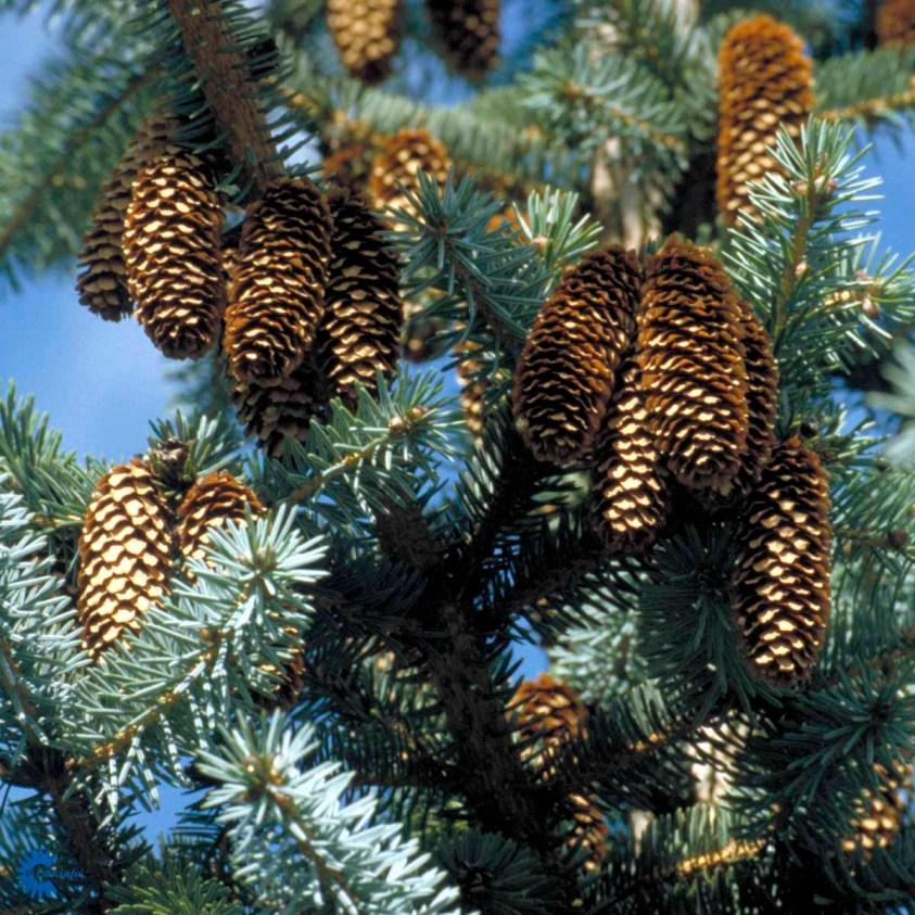 Picea Sitchensis Sitkagran hæk