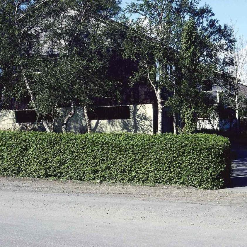 Ribes Alpinum Fjeldribs hæk