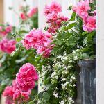de geranium is de balkonplant van 2016