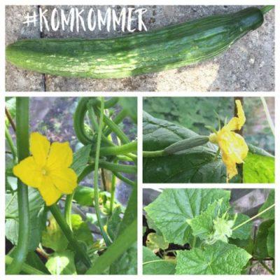 komkommer kweken