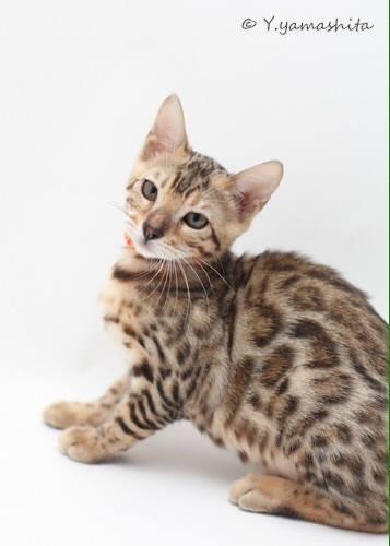 ヒョウ柄のベンガル猫