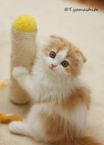 スコティッシュ子猫チャミー