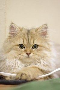 チンチラゴールデン子猫2