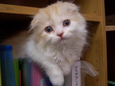 スコティッシュフォールド子猫かわいい