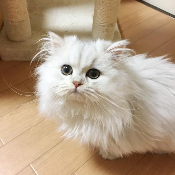 チンチラシルバー子猫3
