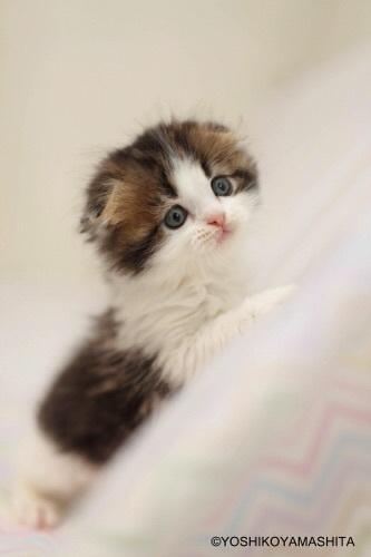 スコティッシュフォールド子猫3